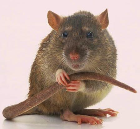 rat-cornered