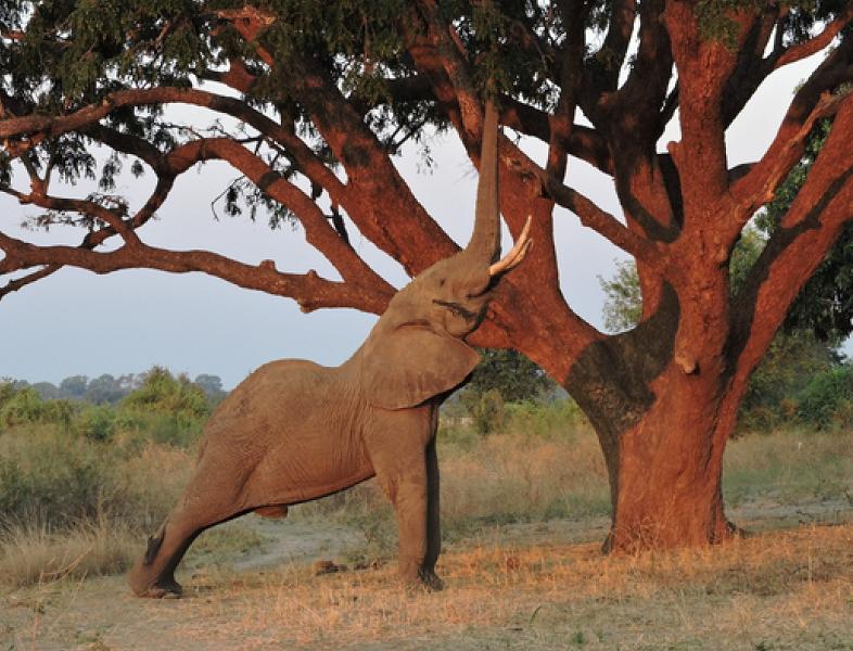 elephant-reaching-up